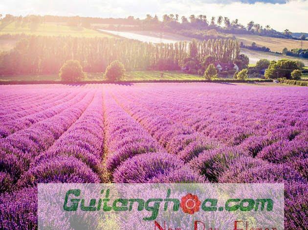 Ảnh cánh đồng hoa oải hương đẹp