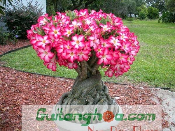 Hình ảnh chậu hoa sứ đẹp