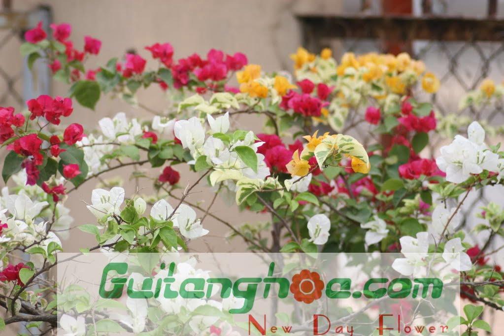 Hình ảnh hoa giấy Việt nam đẹp nhất