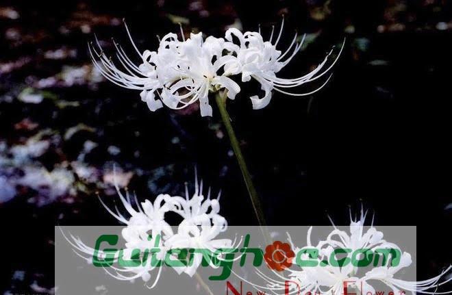 Hoa bỉ ngạn màu trắng