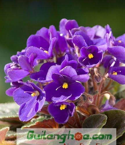 Hoa violet đẹp