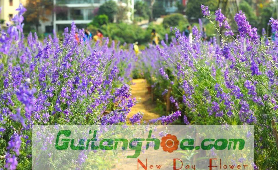 Ý nghĩa hoa violet
