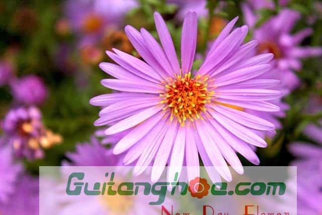 Hình ảnh hoa thạch thảo đẹp