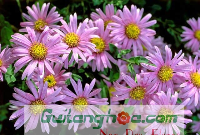 Hoa Thạch thảo hồng