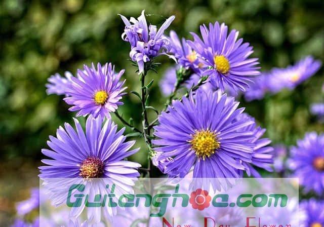 Hoa Thạch thảo màu xanh