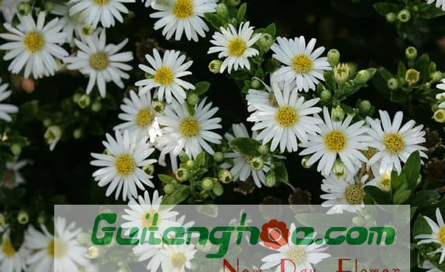 Hoa Thạch thảo trắng