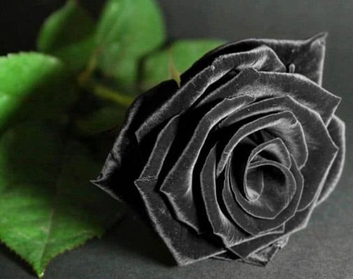 Ý nghĩa hoa hồng đen