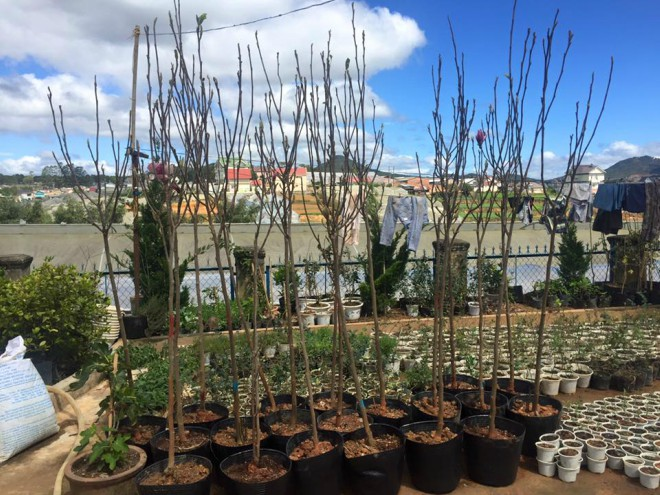 Cách trồng cây hoa mộc lan