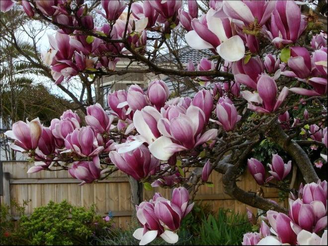 Hình ảnh cây hoa mộc lan