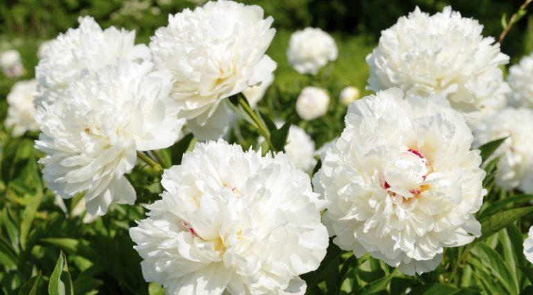 Hoa mẫu đơn màu trắng