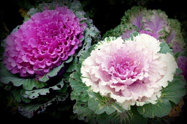 Hoa bắp cải đẹp nhất