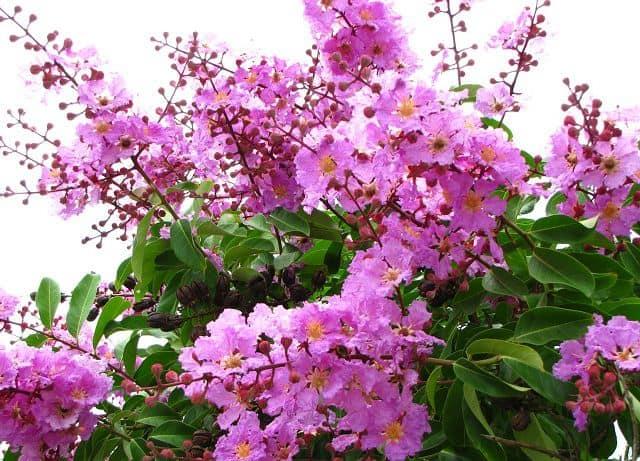 Hoa bằng lăng màu tím