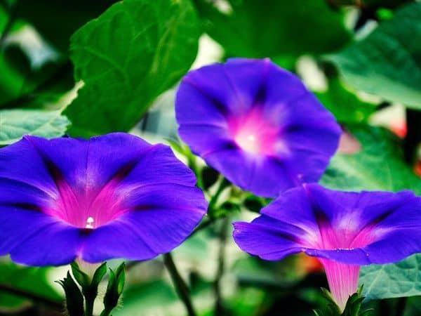 Hoa bìm bịp tím đẹp