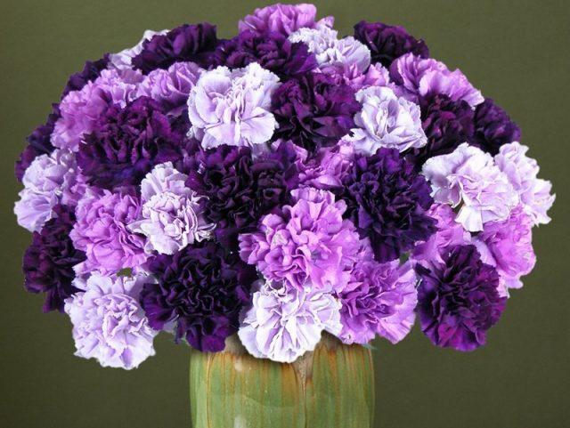 Hoa cẩm chướng màu tím