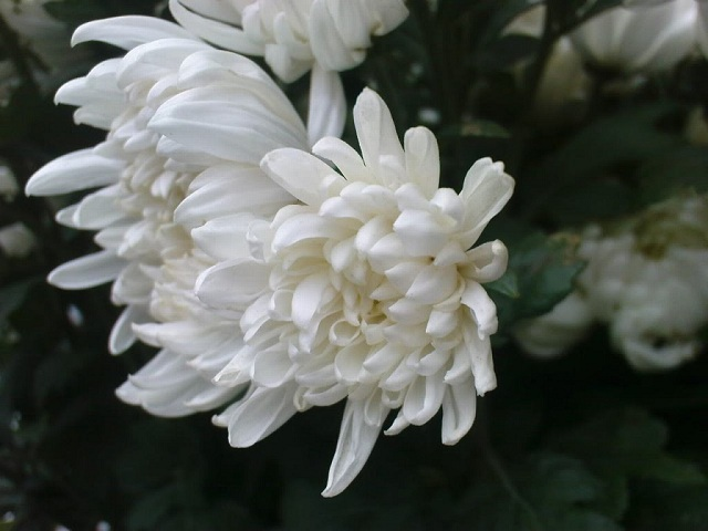 hoa-cuc-trang-dep