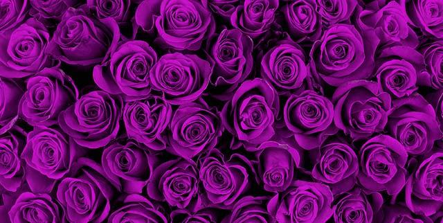 Hoa hồng màu tím