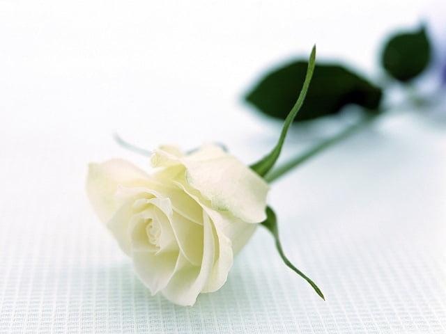 Hoa hồng trong đám tang