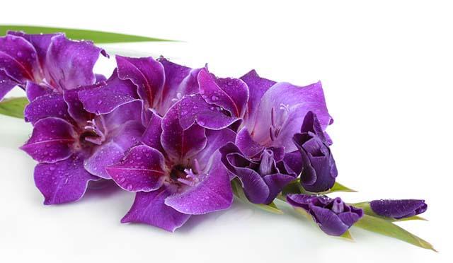 Hoa lan màu tím