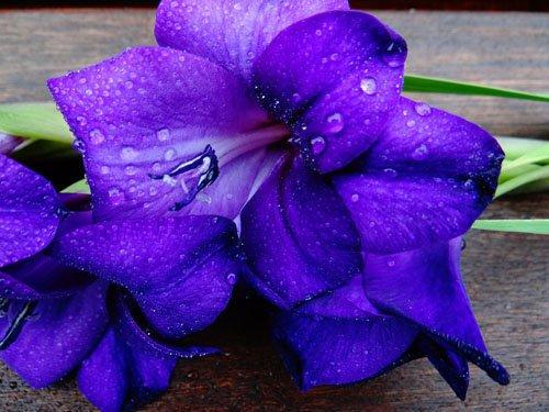 Hoa lay ơn màu tím