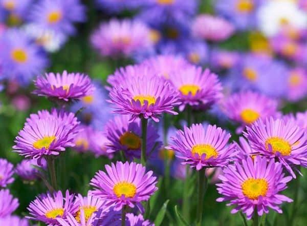 Hoa thạch thảo màu tím