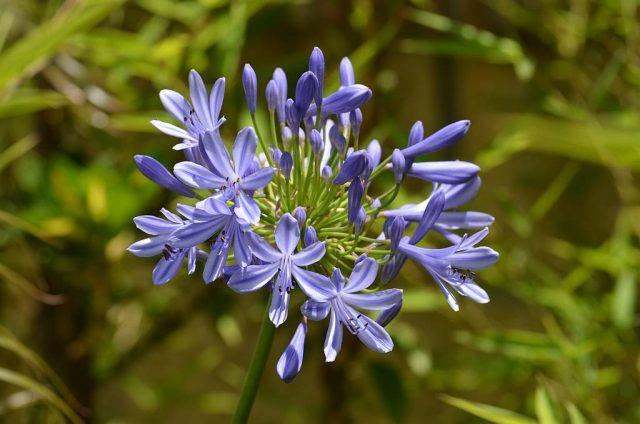 Hoa thạch anh màu tím
