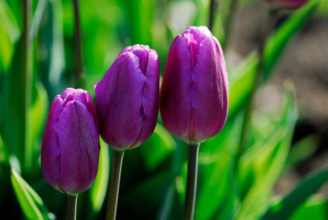 Hoa tulip màu tím