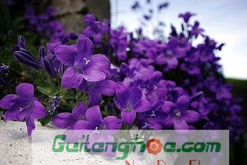 Hoa violet màu tím