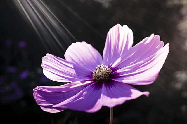 Hoa vũ tru màu tím