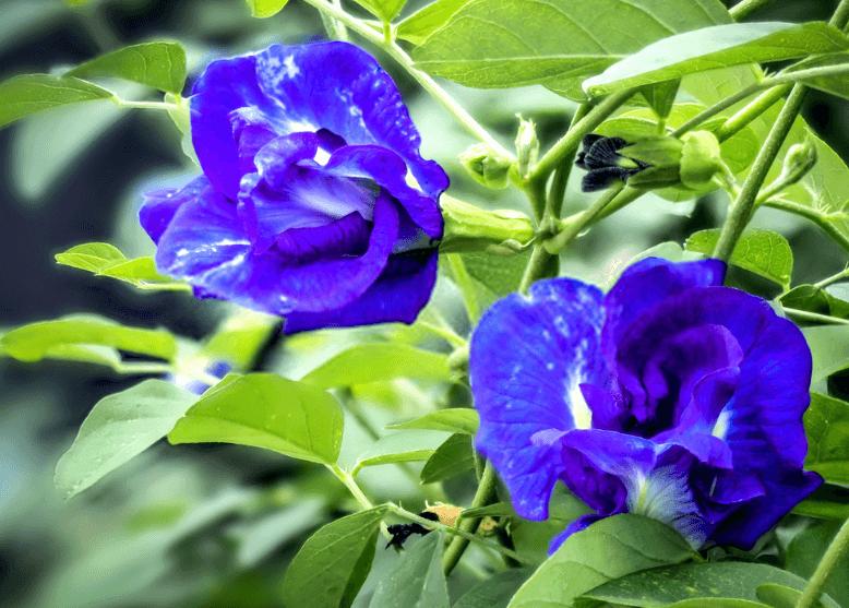 Bông Hoa Đậu Biếc